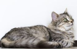 Pretty grey silver female siberian cat lying on the floor looking up Stock Image