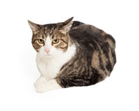 Pretty Grey Tabby Cat Royalty Free Stock Photos