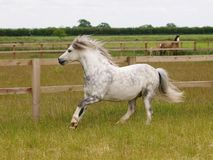 Grey Pony Running. A pretty grey welsh pony canters through a summer paddock Royalty Free Stock Photo