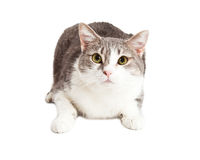 Pretty Grey and White Cat Looking Up Stock Photo