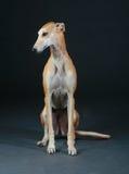 Pretty greyhound dog Stock Photos