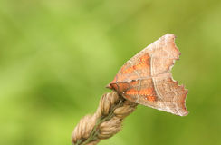 A pretty Herald Moth Scoliopteryx libatrix perched on a grass seed head. Stock Image