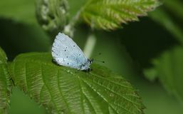 A pretty Holly Blue Butterfly Celastrina argiolus perching on a leaf. A Holly Blue Butterfly Celastrina argiolus perching on a leaf Royalty Free Stock Photo