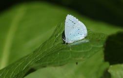 A pretty Holly Blue Butterfly Celastrina argiolus perching on a leaf. A stunning  Holly Blue Butterfly Celastrina argiolus perching on a leaf Stock Photo