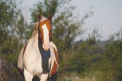 Western Ranch Horse in Wind stock image