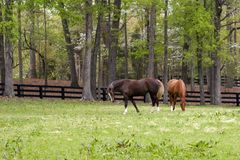 Pretty Horses. Horses Eating Grass in a Pasture Royalty Free Stock Photography