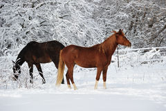 Pretty Horses in the snow, winter in Michigan USA Stock Photos