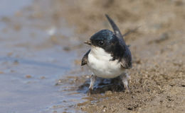 A pretty House Martin Delichon urbica sitting by the side of a muddy puddle. A House Martin Delichon urbica sitting by the side of a muddy puddle Stock Photos
