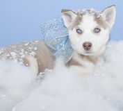 Pretty Husky Puppy Stock Images