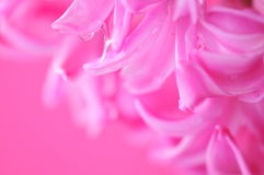 Pretty hyacinth background Stock Photos