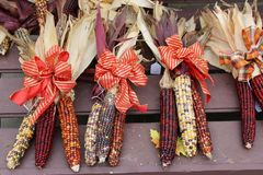 Inviting image of Indian Corn bunched together and tied with bright ribbon. Pretty image that warms the thought of Fall holidays in several ears of Indian corn royalty free stock photos