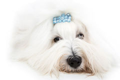 Pretty isolated young Cotton de Tulear whelp wearing blue ribbon Stock Image