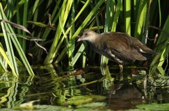 A stunning juvenile Moorhen Gallinula chloropus feeding in the reeds at the edge of a river. royalty free stock photography