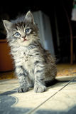 Pretty kitten Royalty Free Stock Photography