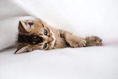 Pretty kitten British golden chinchilla ticked lying on his side Stock Photography