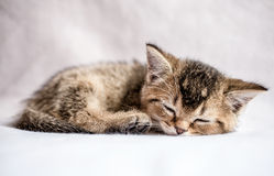 Pretty kitten British golden chinchilla ticked sweetly sleeps. Small pretty kitten British golden chinchilla ticked sweetly sleeps on a white plaid Royalty Free Stock Photography