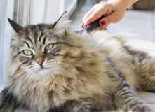 Pretty kitten in brushing time, siberian purebred cat Royalty Free Stock Images