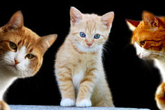 Pretty Kittens. Playful kitten in wait for prey position Stock Photo