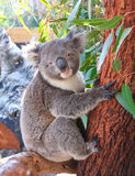 Pretty koala on the tree branch  Stock Photos