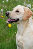 Pretty labrador Royalty Free Stock Photography
