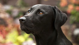 Pretty labrador dog Stock Photography