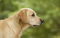 Pretty labrador dog Royalty Free Stock Image