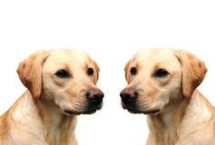 Pretty labrador puppies Stock Photos