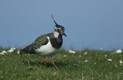 A stunning Lapwing, Vanellus vanellus, searching for food in a grassy field at the edge of a water in spring. A pretty Lapwing, Vanellus vanellus, searching for stock images