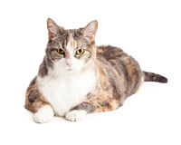 Pretty Large Calico Cat Laying Over White Royalty Free Stock Photo