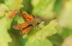 A beautiful Large Skipper Butterfly Ochlodes sylvanus perching on a leaf. royalty free stock photo