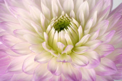 Pretty in lavender. Close-up of lavender colored dahlia flower stock photo
