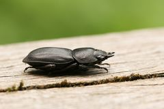 A pretty Lesser Stag Beetle Dorcus parallelipipedus perchng on a log in a wooded area. A Lesser Stag Beetle Dorcus parallelipipedus perchng on a log in a wooded stock image