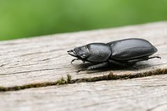 A pretty Lesser Stag Beetle Dorcus parallelipipedus perchng on a log in a wooded area. A Lesser Stag Beetle Dorcus parallelipipedus perchng on a log in a wooded stock photos