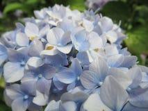 Pretty light blue hydrangea flower in a garden, British Columbia, Canada, 2018. Pretty light blue hydrangea flower in a garden, British Columbia, Canada, Summer royalty free stock photography