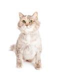 Pretty Light Color Domestic Cat Royalty Free Stock Photo