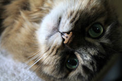 Pretty lil nose close up on longhair girl cat Royalty Free Stock Images