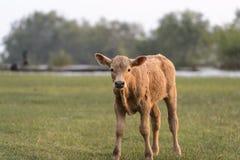 Pretty little calf in green pasture. Pretty little calf standing alone in green pasture royalty free stock image
