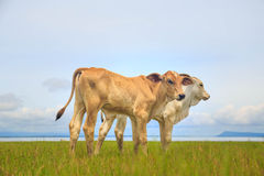 Pretty little calf standing alone in green pasture Stock Photography