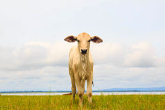 Pretty little calf standing alone in green pasture Royalty Free Stock Photo