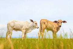 Pretty little calf standing alone in green pasture Stock Images