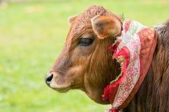 Pretty little calf standing alone. In green pasture Stock Photo