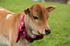 Pretty little calf standing alone in green pasture. Pretty little calf standing alone in green Royalty Free Stock Photo