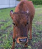 Pretty little calf standing alone Royalty Free Stock Images