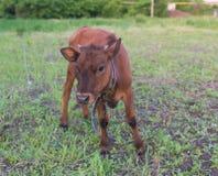 Pretty little calf standing alone Stock Photo