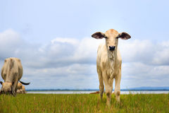Pretty little calf standing  in green pasture Stock Image