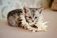 Pretty little cat. Little kitten playing with a wedding garter royalty free stock photo