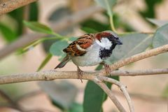 Pretty Little Critter. Passer Domesticus, Common house sparrow, Adult male bird, endangered spcies, Green Perch royalty free stock photo