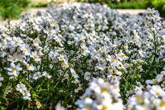 Pretty little daisies. Arrival of spring, pretty little daisies in the botanical garden of Padua Stock Images