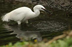 A pretty Little Egret Egretta garzetta fishing in a stream. Stock Image