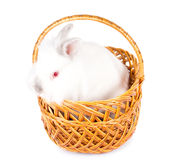 Fluffy white Easter bunny in a basket Royalty Free Stock Image